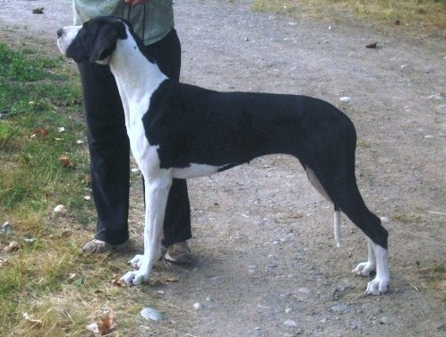What Are Great Danes Bred For Great Danes European G...